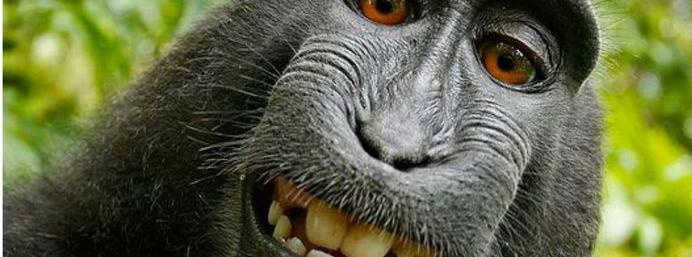 This monkey selfie belongs to nobody, says US Copyright...