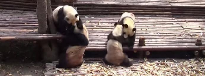 Panda brawl is a joy to watch