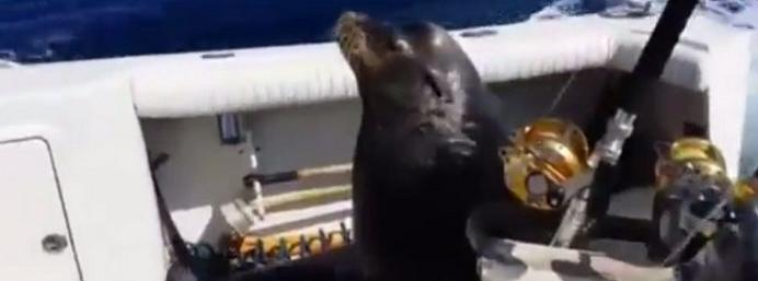 Sea Lion Chases Speedboat in Epic Quest for a Fish