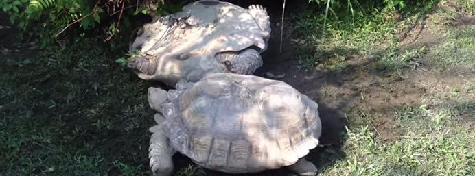 Watch: Overturned tortoise is rescued by his very smart tortoise friend
